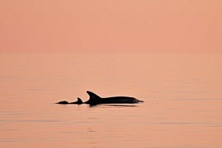 dolfin in cabrera island's waters - sunset tour