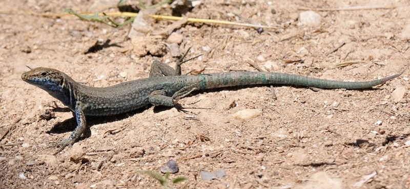 Lilford's wall lizard, a charming protagonist - Excursions a Cabrera